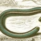 древесный червь